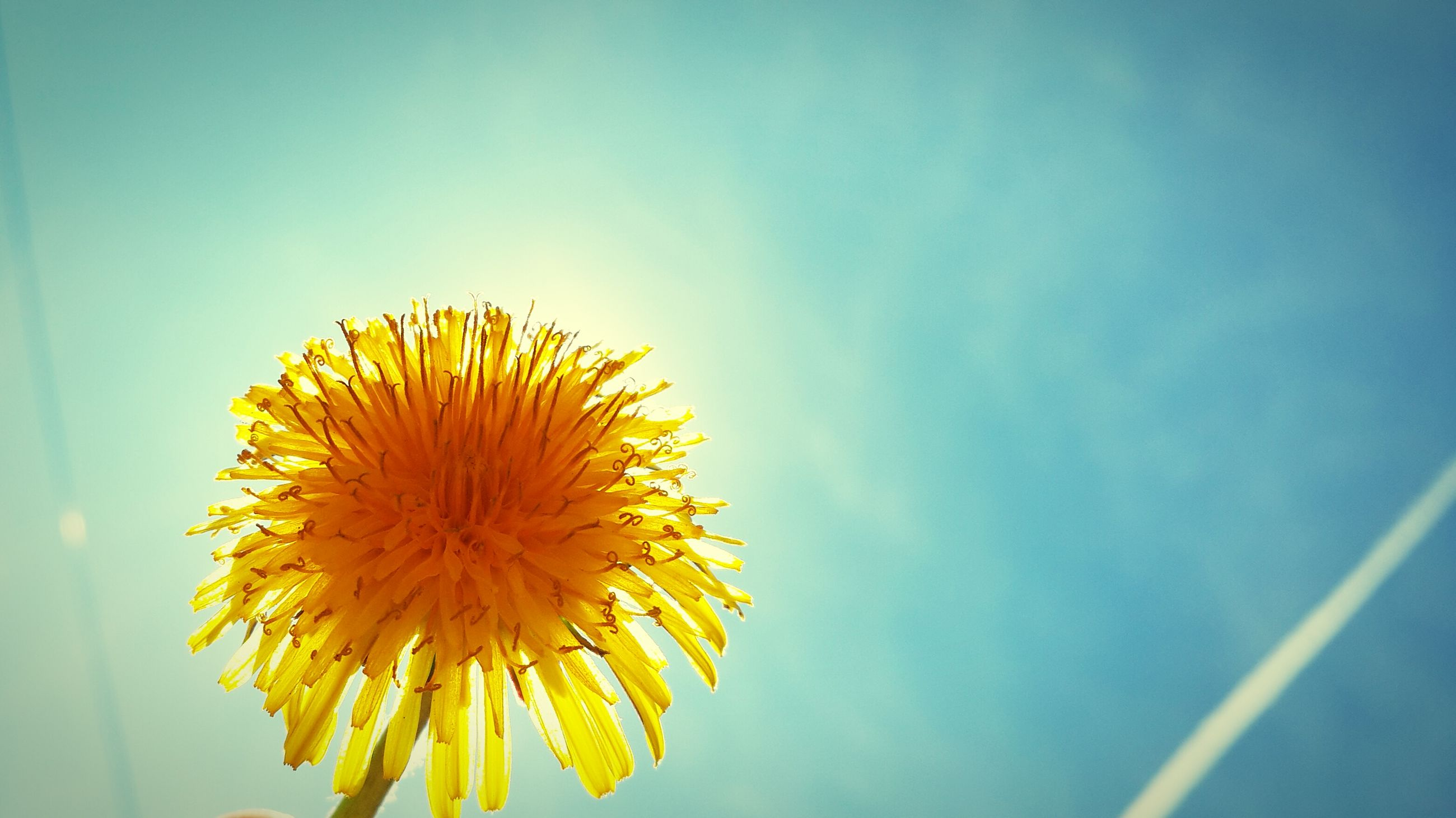 flower, yellow, freshness, fragility, flower head, petal, single flower, sunflower, growth, beauty in nature, pollen, nature, close-up, blooming, in bloom, dandelion, plant, sky, stem, blossom