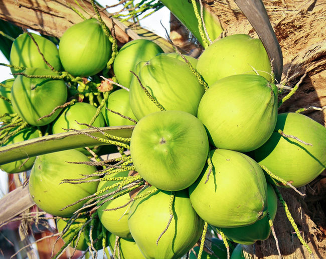 Cluster of fresh coconut fruits hanging on coconut tree Beauty In Nature Bunch Close-up Coconut Palm Tree Day Food Food And Drink Freshness Fruit Green Color Growing Fruit Healthy Eating Leaf Nature No People Outdoors Plant Plant Part Tree Tropical Tree