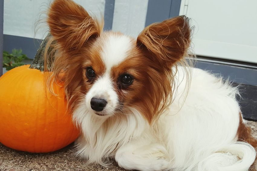 Domestic Animals Dog Pets One Animal Animal Themes Front View Loyalty No People Animal Pampered Pets Papillon Dogs Dogstagram Ilovemydogs Dogs Of EyeEm Dog❤ Mydogsarecoolerthanyourkids Portrait Orange Color Non-urban Scene Dogs Dogsofinstagram Dogs_of_instagram Dog Portrait Dogoftheday Pet Portraits