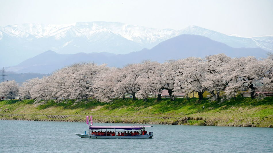 Cherry Blossom Cherry Blossoms Sakura Snow Capped Mountains Boat Foreground And Background Full Bloom Funaoka Mountain Range Sakura Blossom Sightseeing Boat Spring Spring Flowers