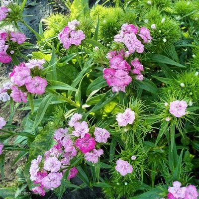 20140624 , Новосибирск . дача . цветы . ТурецкаяГвоздика/ Novosibirsk. Dacha. Flowers. SweetWilliam.