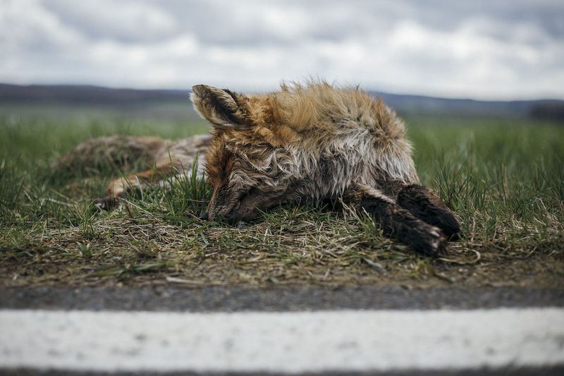 Sorry for this little guy :/ this happens way too often on streets every day Animal Head  Close-up Dead Dead Animal Focus On Foreground Fox Road Kill Roadkill Sad :(