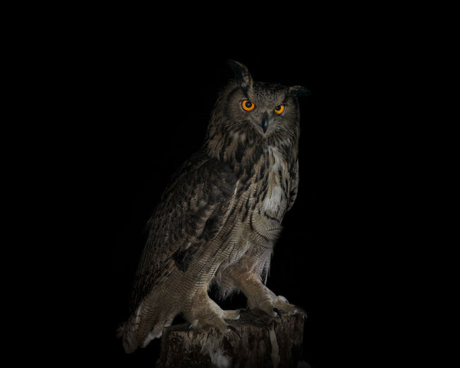 An eagle owl smile at night. 43 Golden Moments Animal Animal Eye Animal Head  Animal Themes Beauty In Nature Bird Bird Of Prey Birds Black Background Black Color Close-up Eagle Eagle Owl  Nature No People Owl Portrait Showcase June The Great Outdoors - 2016 EyeEm Awards