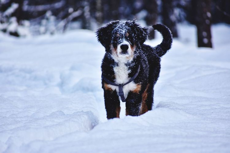 Bernese mountain dog in winter forest in ukraine