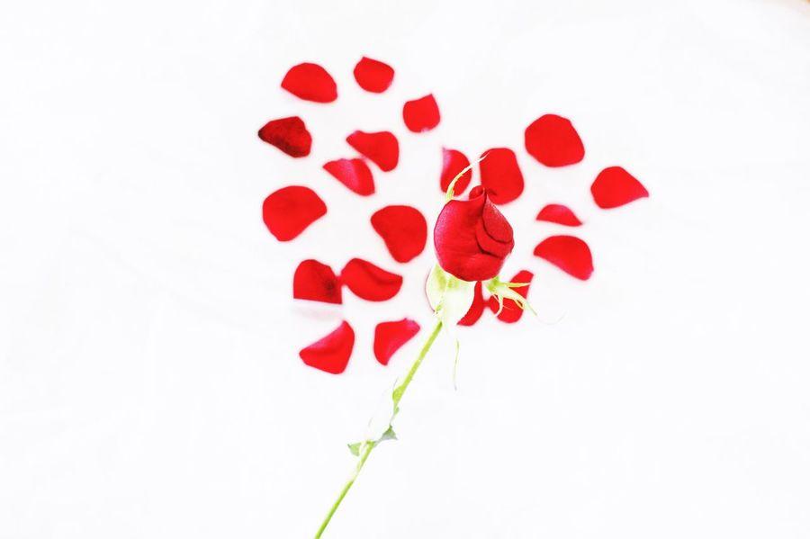 Bleeding heart. Red Love White Background Heart Shape Flower Studio Shot No People Close-up Indoors  Nature Day Petals Roses Rose Petals Crimson Bleeding Heart  Photography EyeEmNewHere EyeEm Selects