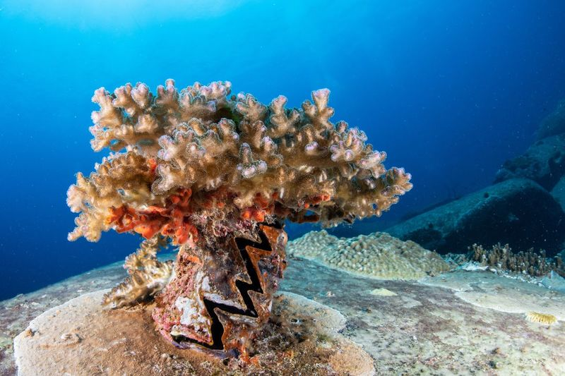 Hard coral growing on a giant clam shell