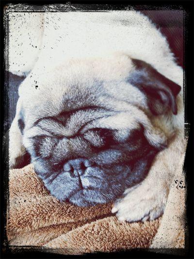 Pug Love Pug Time Pug Sitter Pug Life