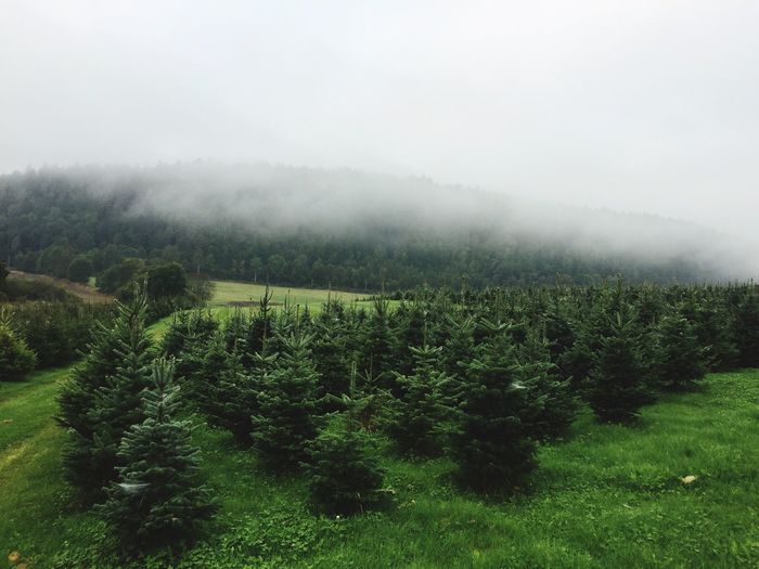 The Christmas trees are growing. Tranquil Scene Tree Scenics Beauty In Nature Green Color Landscape Countryside