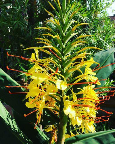 Cinnamon Fragrance Hedychium Gardnerianum Freshness