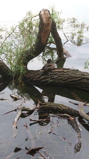 Holz Tiere Duck Ente Wasser Taking Photos Eyemphotography EyeEmBestPics Spaziergang