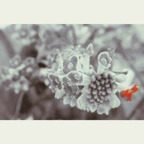 ベニハナミツマタ ミツマタ 春 Flowers Beautiful EyeEm Nature Lover Beautiful Nature Flowerporn Color Splash