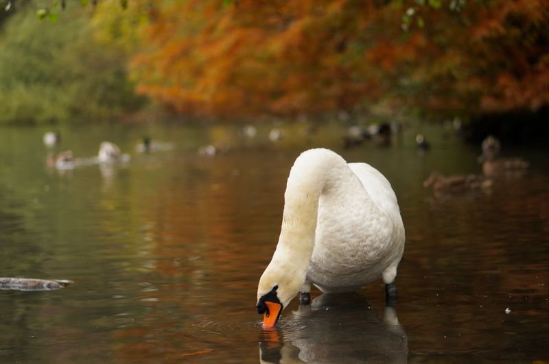 swan l In The