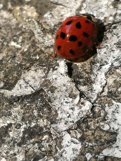 Ladybug Ladybird Version No Edit/no Filter Red And Black Black Dots Insect Outside Stone Ladybird🐞 Space For Copy Space For Text