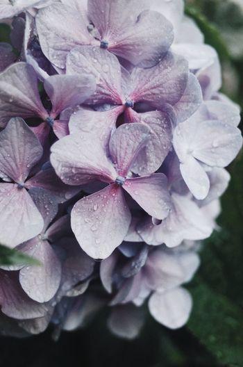 Close-up of wet purple hydrangea flowers