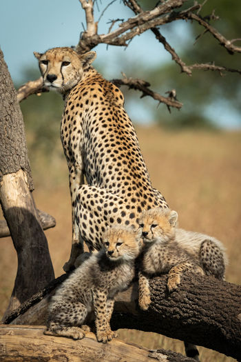 Cheetah with cubs on tree trunk