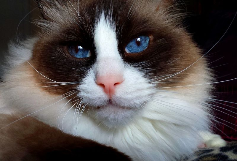 Blue Eyed Cat Cats Of EyeEm Channeling Elvis Animal Head  Animal Themes Best Of EyeEm Blue Eyes Cat Art Cat Eyes CAT IN THE SUN Cat Model Close Up Color Contrast Contentment Domestic Cat Longhaired Cats One Animal Pets Purr-sonality Ragdoll Cat Seal Mitted Whiskers EyeEm Gallery Cat Photography