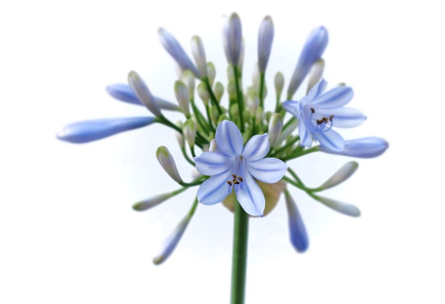 Flower Cut Out Flower Head White Background Fragility Blossom Petal Close-up Nature Herbal Medicine Beauty Beauty In Nature Freshness No People Day Outdoors Agapanthus Manuelkiese Mallorcaisland Mallorca (Spain) Mallorcaphotographer
