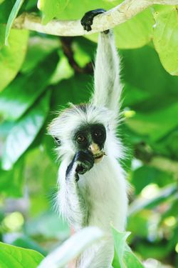 close up of red colobus Monkey hanging in green tree eating a branch on Zanzibar Monkey Eating Hanging Food Animal Tree Plant Zanzibar Tanzania Growth Freshness Beauty In Nature No People Animals In The Wild Flowering Plant Animal Themes One Animal Focus On Foreground Animal Wildlife Plant Part Colobus Portrait Close-up Branch Outdoors