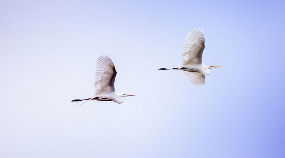 Low angle view of great egrets flying against clear sky