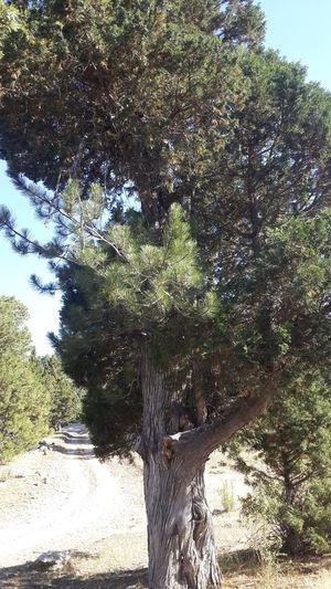 Pine tree's arm on the juniper tree, if you look carefully you can see... Tree Nature Tree Trunk EyeEm Nature Lover EyeEm EyeEm Gallery Turkey Eyeem Photography Eyeem Market EyeEm Best Shots Nature Highland Bozdag