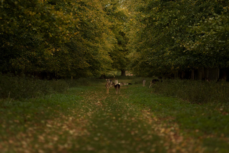 A herd of Fallow deer gathered in-between two autumn coloured tree lines. Autumn Autumn Colors Deer Green Leading Lines Leafs Looking At Camera Path Tree Animal Themes Countryside Day Fallow Deer Fallow Deers Grass Herd Looking Mammal Nature Outdoors Track Tree Tree Line