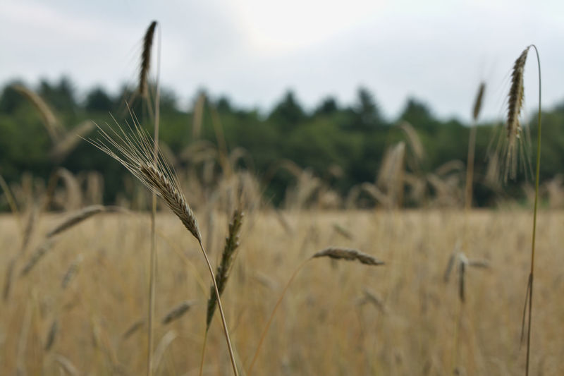Close-up of wheat crop in field