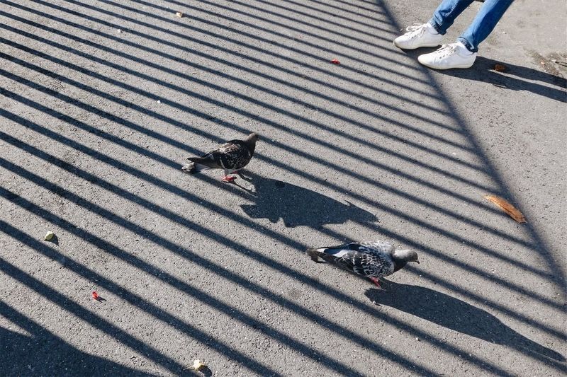 Low section of person by pigeons on road with railing shadow