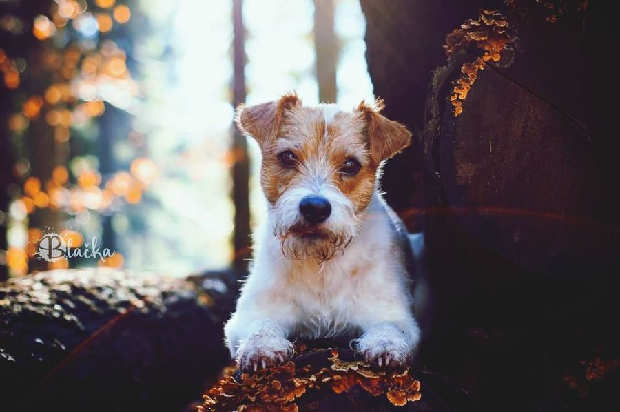 Parson Russell Terrier Dog Portrait Dog Canine Photography Animal Photography Forest Walk In The Woods Photography My Dogs Are Cooler Than Your Kids