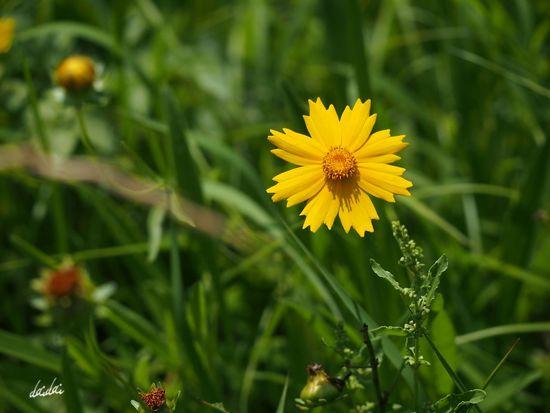 「逆境にくじけるな」と今自分に言い聞かせて E-PL3 Flower キバナコスモス Noedit