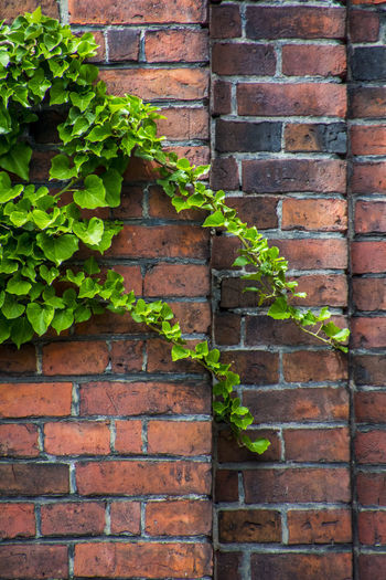 Brick Wall Green Growth Live Plant Life Poison Ivy Strength Wall