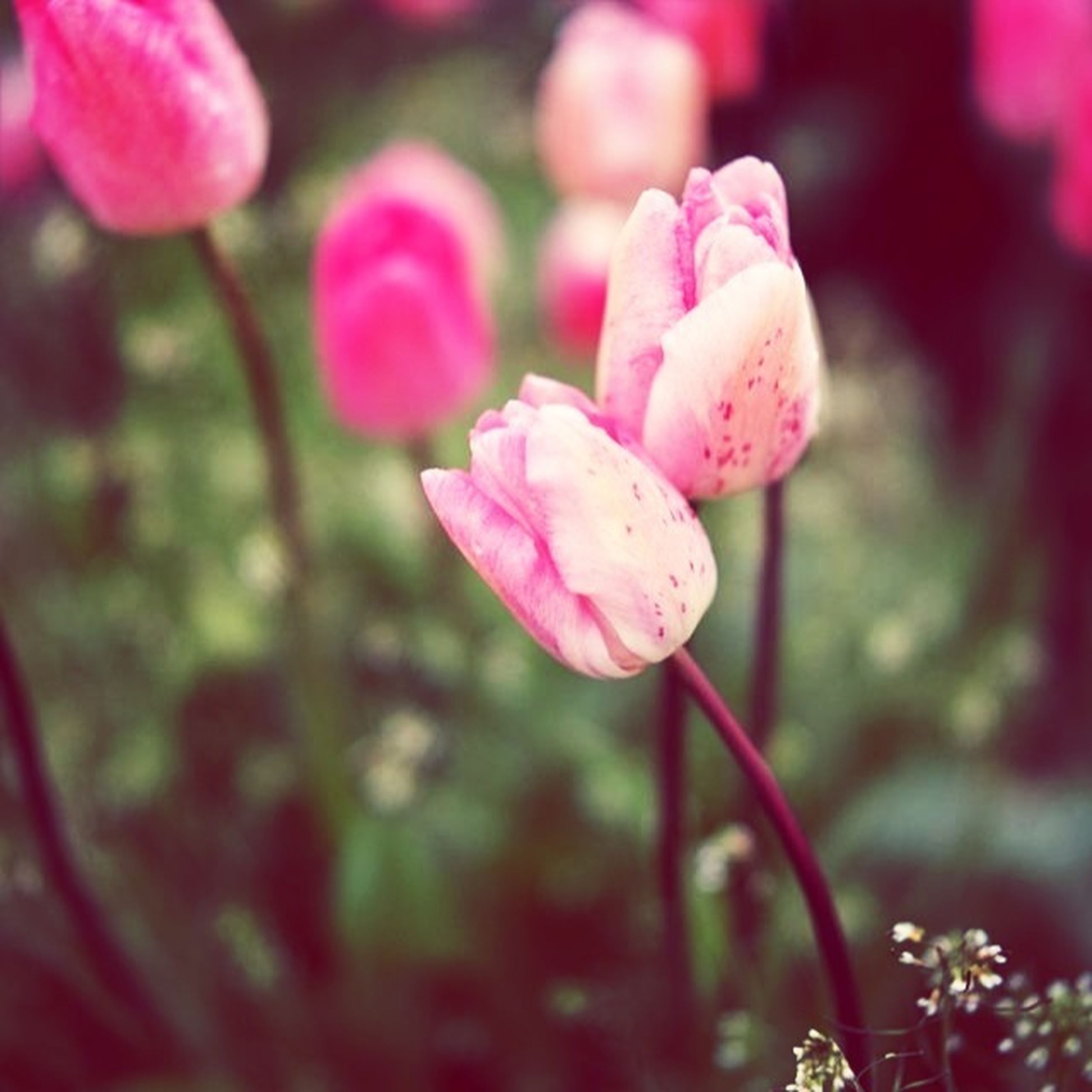 flower, freshness, fragility, petal, growth, focus on foreground, close-up, beauty in nature, flower head, pink color, nature, plant, blooming, stem, bud, in bloom, selective focus, day, drop, outdoors