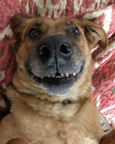 Smile Dog Pets Domestic Animals One Animal Animal Themes Mammal Indoors  Portrait Looking At Camera Close-up No People