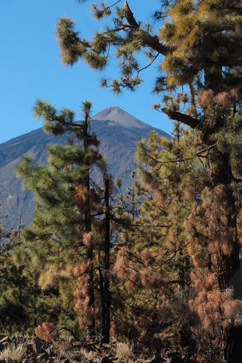 Beauty In Nature Canadas Del Teide Clear Sky Day Growth Landscape Mountain Nature No People Outdoors Plant Scenics Sky Teide Teide National Park Tenerife Tranquil Scene Tranquility Tree Tree_collection
