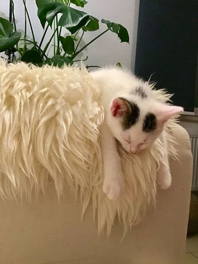 White cat resting at home