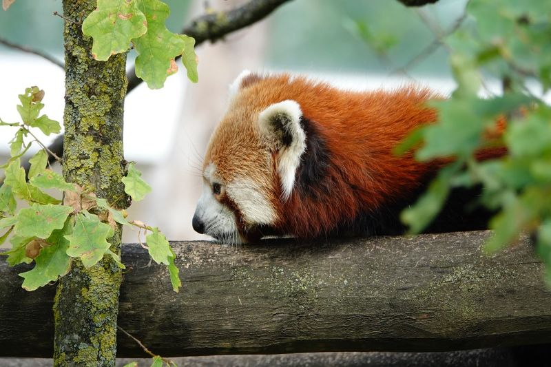 Panda - Animal Lesser Panda Ailurus Fulgens Animal Wildlife Animal Animal Themes Animals In The Wild One Animal Vertebrate Tree Mammal Plant Part No People Relaxation Red Panda Leaf Nature Plant Branch Zoo Animals In Captivity Outdoors Day