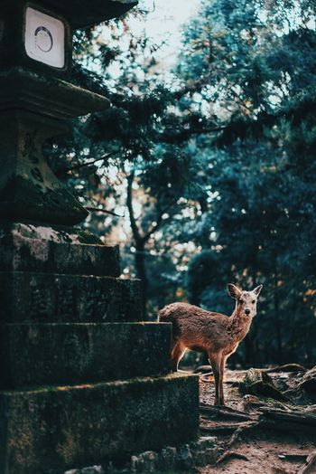 Nara, Japan 2017 One Animal No People Nature Deer Outdoors Japanese Culture Beauty In Nature Japan Stone Lantern Fresh On Market 2017