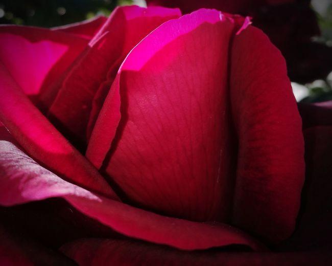 R O S E Flower