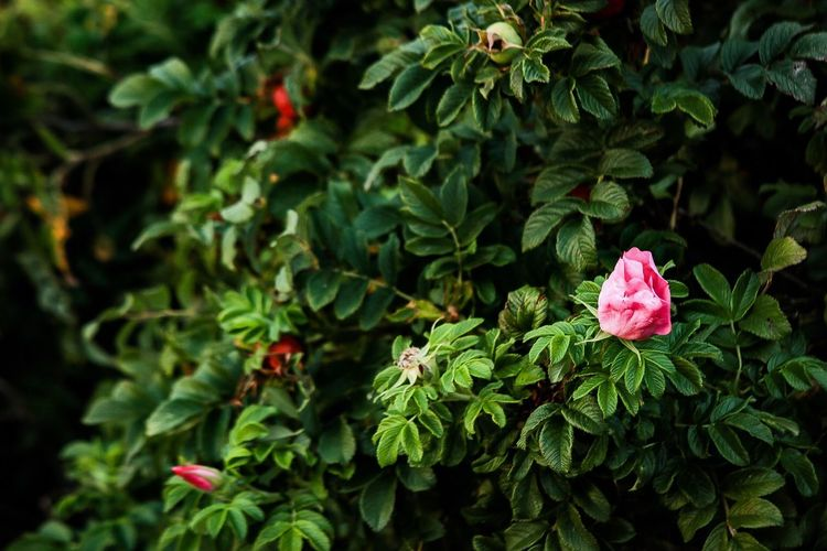 Wild rose hip bushes in sunset light Rose Hip Sunset Red Flowering Plant Plant Part Nature Pink Color Close-up Outdoors Flower Head No People