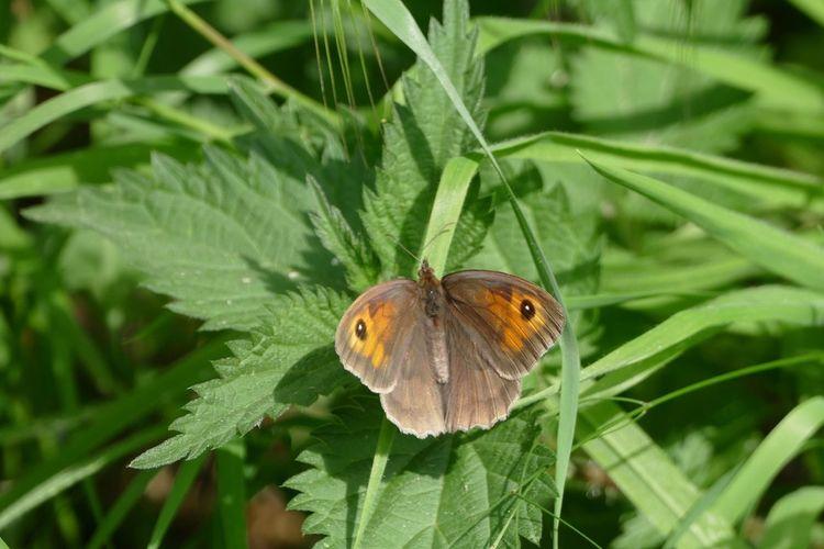 Butterfly Butterfly Collection Butterflies Meadow Brown LUMIX DMC FZ1000 Natures Diversities Nature's Diversities