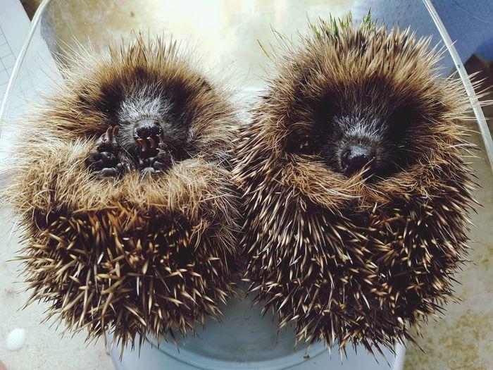Hedgehogs Huffy Hogs Rescue Rehabilitation