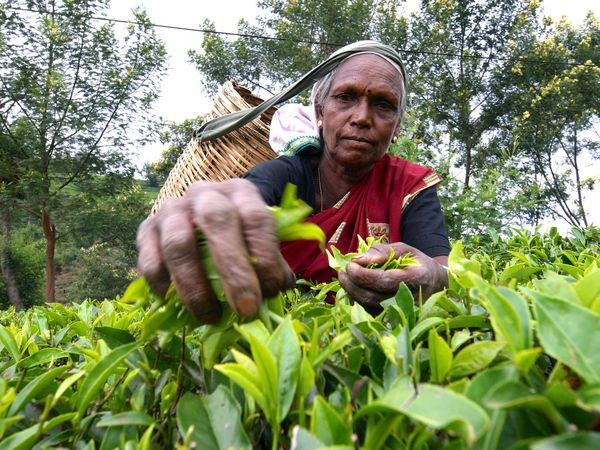 Focus On Foreground Food And Drink Sri Lankan SriLanka Srilankan Srilankatravel Tea Tea Garden Worker Vegetable Workers For Tea Woman Who Inspire You