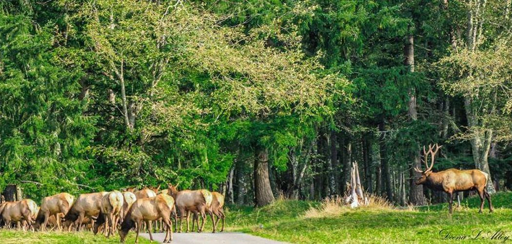 Washington Wildlife Northwest Trek Elk