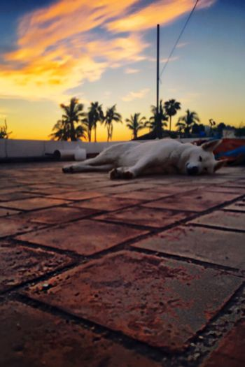 EyeEm Best Edits Dogs Roof Wolfdogs White German Shepherd Animals Pets Eye4photography  EyeEmBestEdits Sky