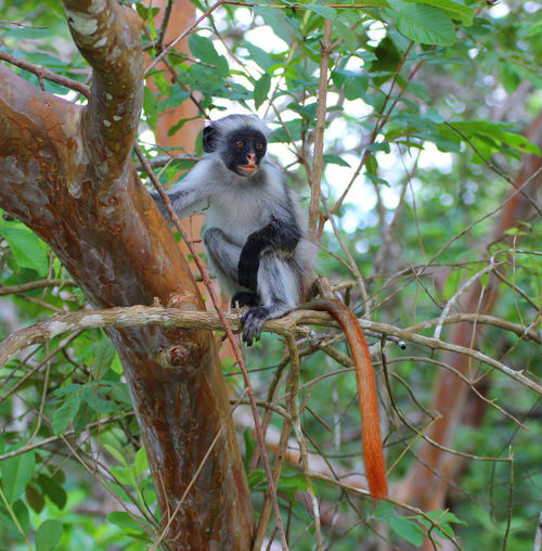 🐒Red Colobus Monkey Wildlife Photography Africa Animal Animal Wildlife Animals In The Wild Branch Forest Furry Green Color Herbivorous Jozani Forest Jungle Leaf Mammal Monkey Nature One Animal Outdoors Portrait Primate Red Colobus Travelgram Tree Wilderness Wildlife