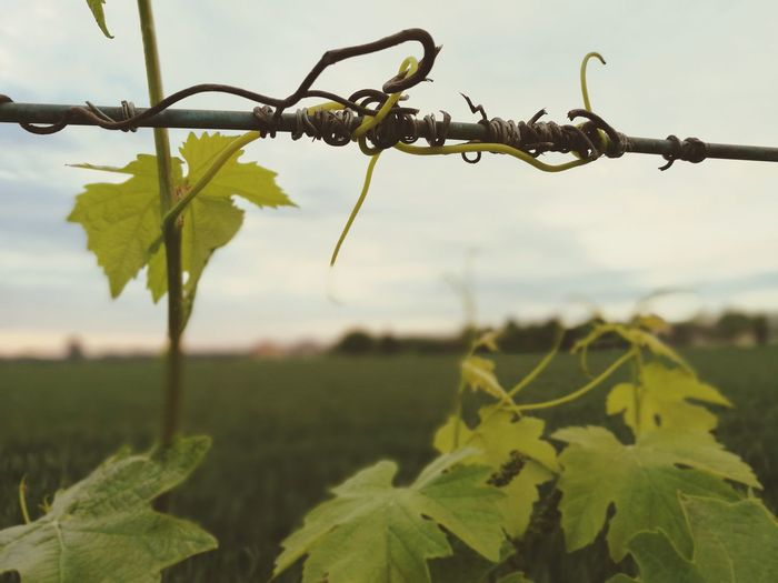 Plant No People Nature Outdoors Agriculture Rural Scene Vineyard Tendrils