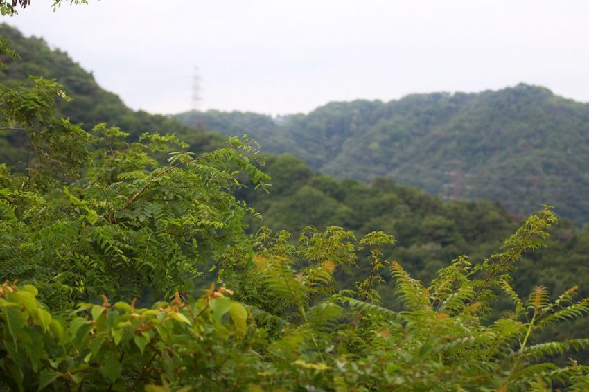 Growth Green Color Nature Plant No People Beauty In Nature Lush Foliage Tree Leaf Scenics Day Mountain Outdoors Landscape Tea Crop Agriculture Freshness Sky Close-up Japan Kobe Osaka,Japan