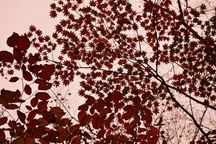 紅葉 大分 由布岳