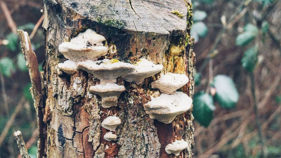 Close-up of fungus growing on tree stump