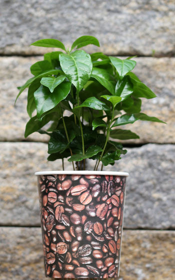 Kaffeebäumchen Kaffeepflanze Zierpflanze Kaffeebohnen Coffeeplant Coffee Kaffestrauch Potted Plant Red Close-up Plant Stone Wall Stone Material Plant Life Flower Pot Leaves Tombstone