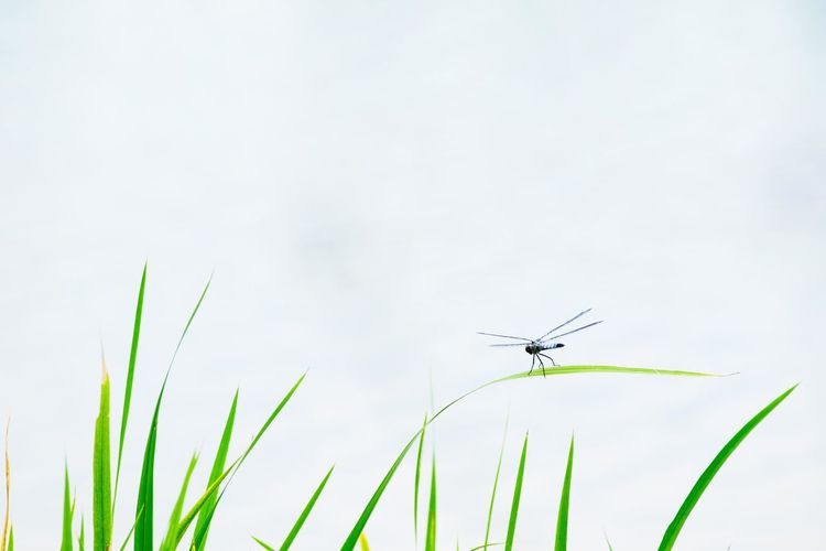 Dragonfly on grass against clear sky